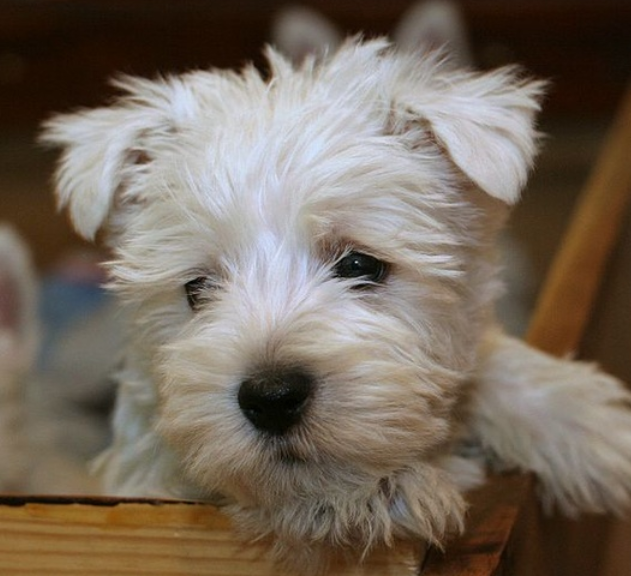 Cute puppy face picture of Westie puppy in white.PNG