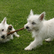 Playful puppies picture of Westie dogs.PNG