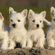 West highland terrier breeding.PNG