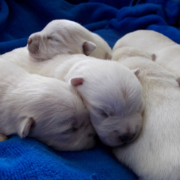 Westie newborn puppies pictures.PNG