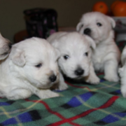 White Scottish dogs picture of Westie puppies.PNG