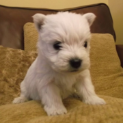 Adorable puppy picture of Westie dog.PNG