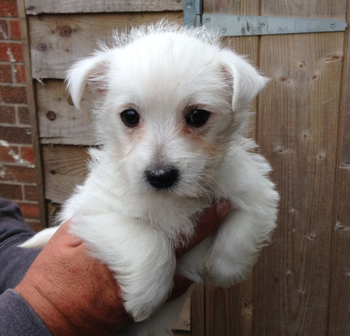 Beautiful white westie pup photo.PNG