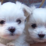 Cute puppies pictures of west terrier dogs.PNG