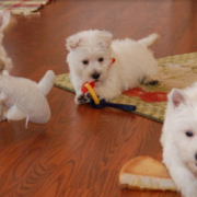 Pure white dogs breeding pictures of White westie puppies.PNG