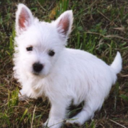 UK dog picture of beautiful white West highland white terrier puppy.PNG