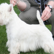 West highland white terrier dog on dog show.PNG