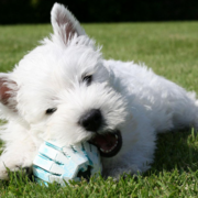 West highland terrier pup bitting on its dog toy.PNG
