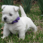 Cute puppy picture of west terrier in white.PNG