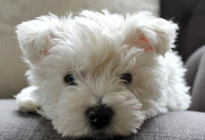 Cute White Puppy Face Picture Of Small Westie Dog