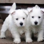 Westie breeders picture