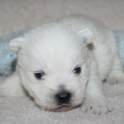 Newborn puppy picture of Westie in white