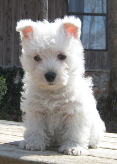 Small dog breeds picture of westie puppy