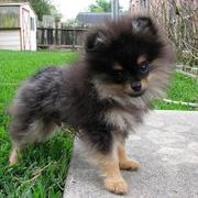 Teacup Teddy Bear Pomeranian dog in three toned fur.JPG