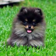 Teacup Teddy Bear Pomeranian in black and brown colors.JPG