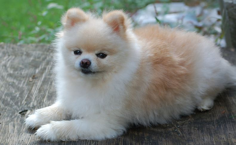 White and tan tea cup pomeranian dog.JPG
