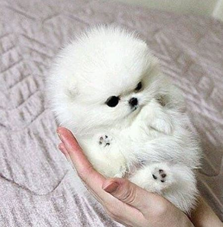 White Ball Dog Photo Of White Teacup Pomeranianjpg 1 Comment