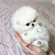 White ball dog photo of White Teacup Pomeranian.JPG