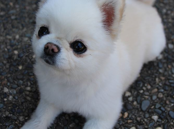 White Teacup pomeranian picture.JPG