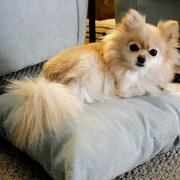 Cute smallest dogs picture of teacup pomeranian dog.JPG