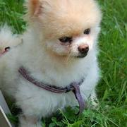 Playfull dogs picture of Teacup pomeranian puppy.JPG