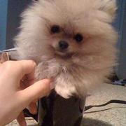 Puffy teacup Pomeranian sitting inside a small cup.JPG