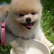 Small adorable dogs photos of teacup pomeranian puppy.JPG