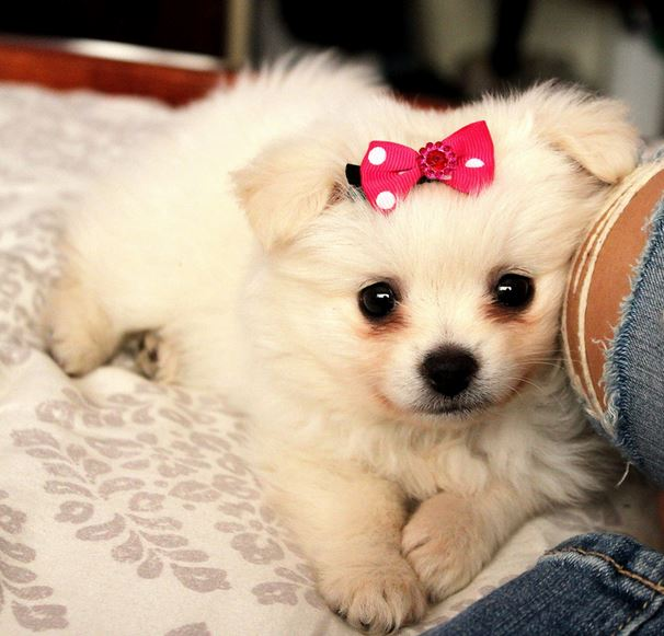 Smallest and cutest dogs picture of teacup pomeranian dog.JPG