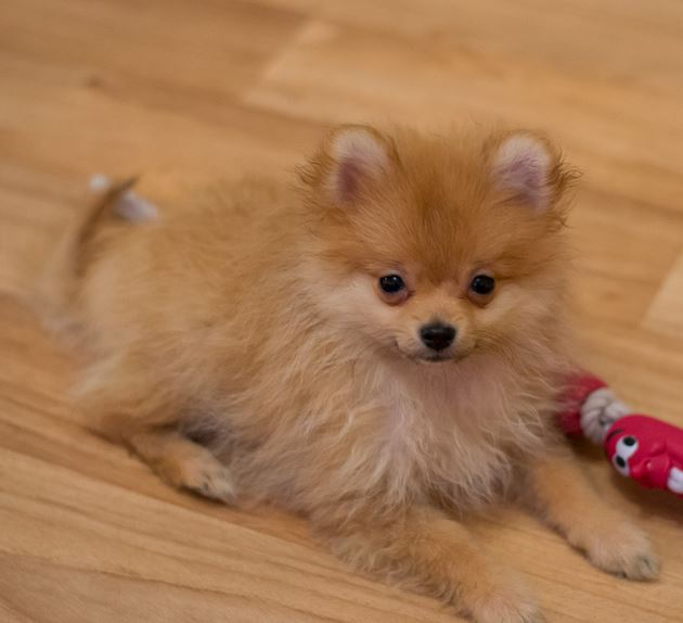 Tan teacup pomeranian with puffy fur.JPG