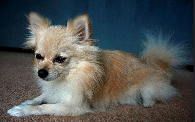 Teacup Pomeranian in tan and white fur.JPG