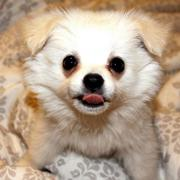 Teacup pomeranian pup looking straight at the camera.JPG