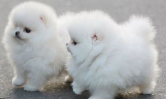 Playful teacup cotton ball puppies picture.JPG