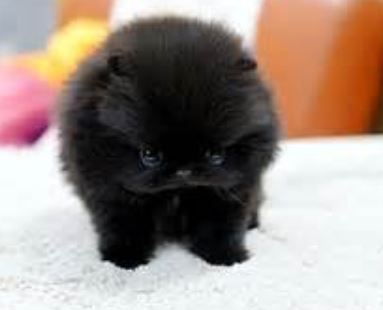 Teacup Teddy Bear Pomeranian black cotton ball puppy.JPG
