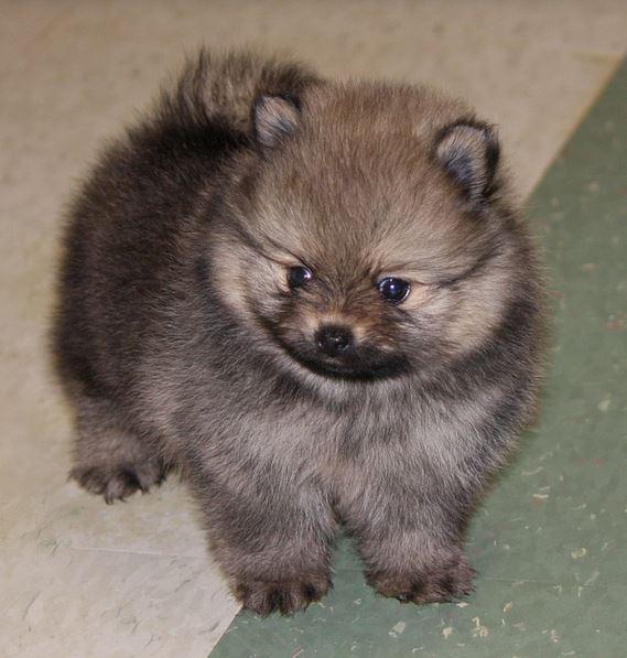 black teddy bear pomeranian - photo #22