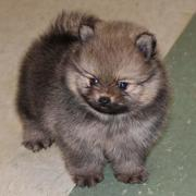 Teacup Teddy Bear Pomeranian puppy in greyish brown with tan coat of fur underneat.JPG