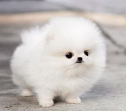White teacup pomeranian cotton ball puppy breed.JPG