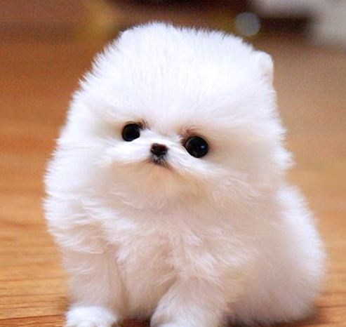 White Pomeranian Puppy Ball