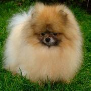 Miniature Pomeranian puppy with long puffy fur