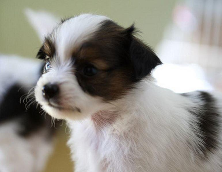 Young papillon breeding with brown and white colors.JPG