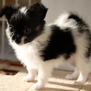 Black and white Papillon puppy with long ears.JPG