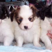 Papillon breeds looking so cute.JPG
