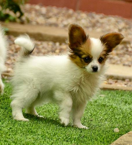 Papillon Puppy With Long Ears In White With Tan Brown Patternsjpg