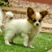 Papillon puppy with long ears in white with tan brown patterns.JPG