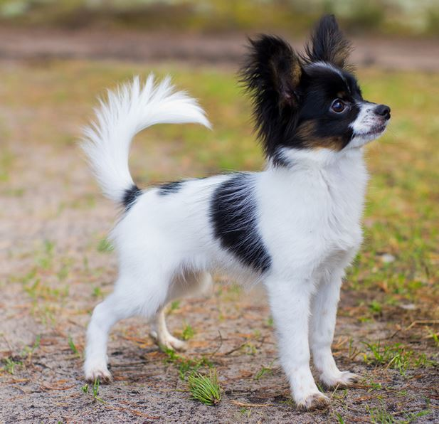 Small sized papillon puppy with long ears with three tones colors.JPG