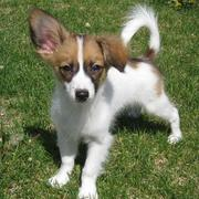 Three toned puppy picture of papillon dog playing in the sun.JPG