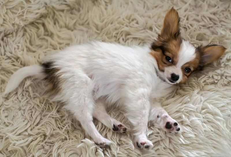 White and dream papillon pup photo.JPG