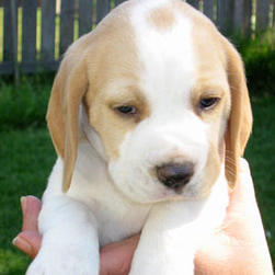 beagle young pup in tan and white.jpg