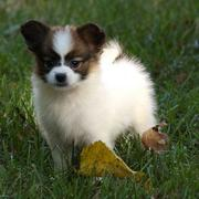 Fury pallion puppy playing on the grass.JPG