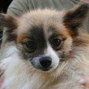 Papillon puppy face with cute patterns.JPG