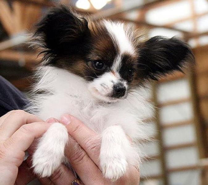 Adorable small dog picture of Papillon pup.JPG
